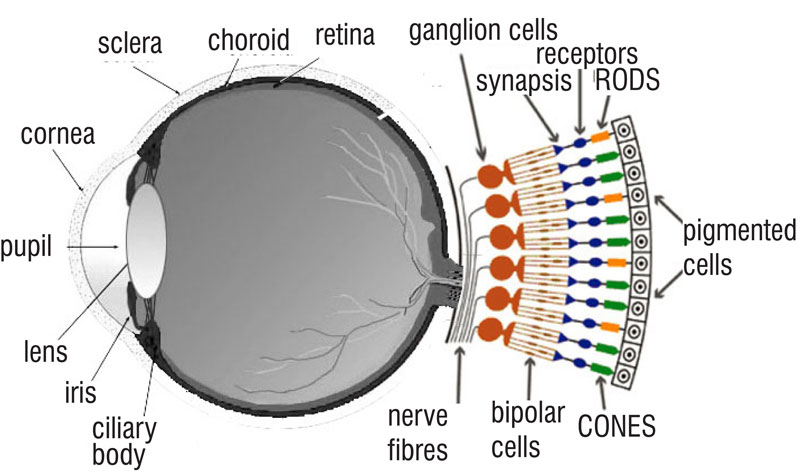 human eye diagram with rods and cones - photo#4