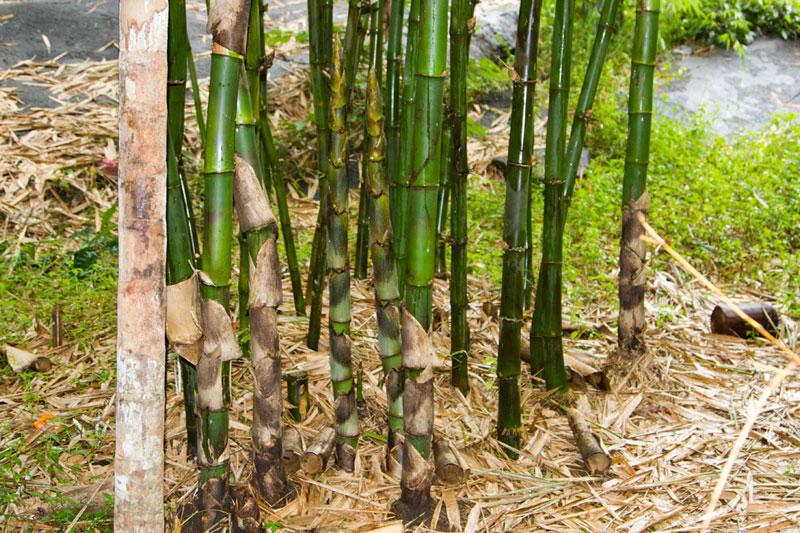 D'source Bamboo-Plantation & Types | Bamboo Craft - Wayanad