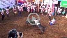 Bull Taming 1
